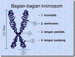 Perhatikan baik-baik gambar kromosom berikut!