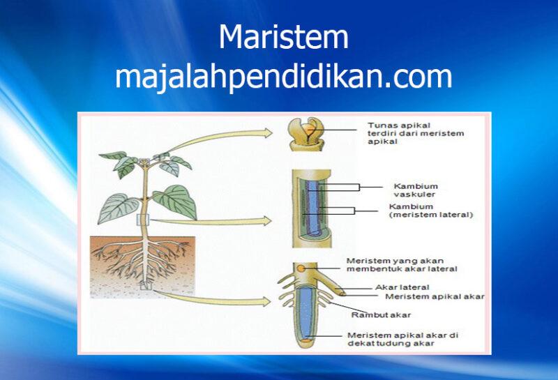 1 Jaringan Maristem jaringan tumbuhan