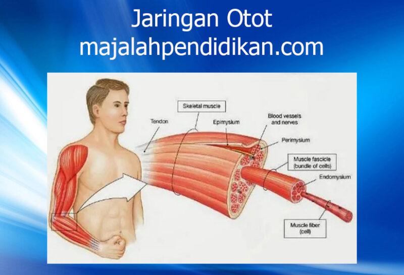 1 jaringan otot manusia